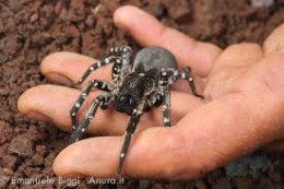 The Madeiran Desertas Wolf Spider...quite a nice chap.(er, chappess)
