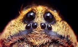 "All Wolf spiders have 6 small and two large eyes...this is Desertas ""I can see ya!"""