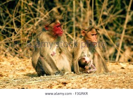 Red faced bonnet monkey