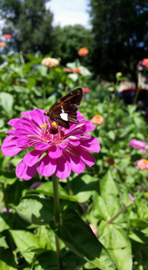 Purple Zinnia with Butterfly visitor