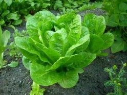 Growing Delicious Lettuce
