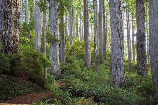 Redwood forest in Del Norte County
