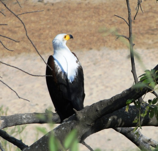 The resident Fish-eagle is one of the African icons