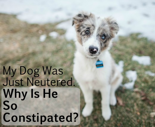 Constipation is common after neutering and spaying.