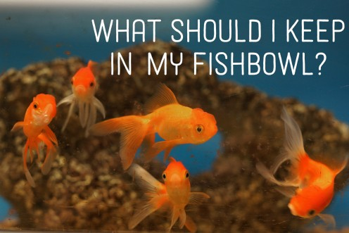 What Is the Best Fish to Keep in a Fishbowl?