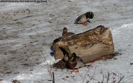 Mallards (two drakes and two ducks) are quite resilient even resting on icy surfaces.