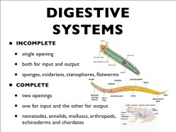 AP Biology Notes: Digestive System