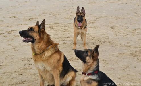 Training a German Shepherd: A 3-Part Plan
