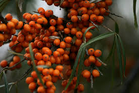 Sea Buckthorn (Hippophae)