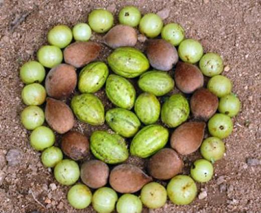 Triphala: Three Fruits