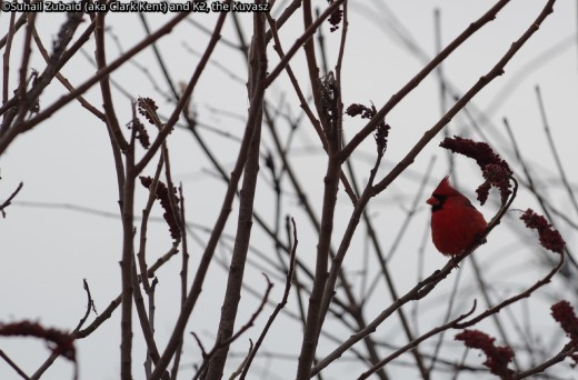 Northern Cardinal is the symbol of our winters. This shy bird moves in and out of foliage with an alarming short 'peep' call to constantly thwart any efforts of taking their shots.