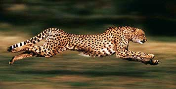 Acinonyx jubatus The Cheetah HubPages