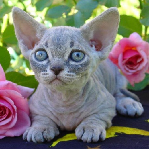 Here is a Minskin, a cross between a Munchkin cat and a hairless Sphynx Rex.