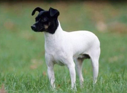 A Japanese Terrier.