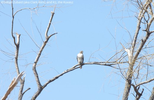 If the meadow voles, squirrels, and chipmunks are around, the red-tailed hawk will stay around too and it does in our winters.