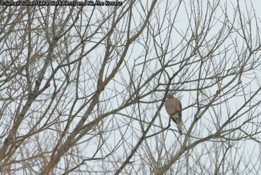 The mourning doves look fragile, but with abundance of backyard feeders, they are wintering with us.