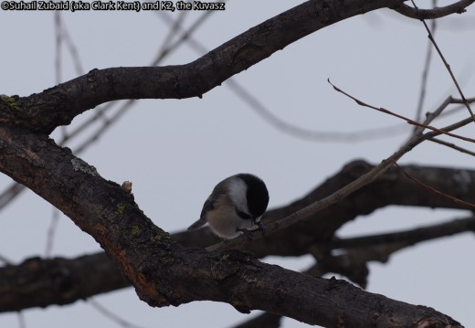 Black capped chickadees, like this one opening up a seed, can be heard loud and clear in our bush in winters.