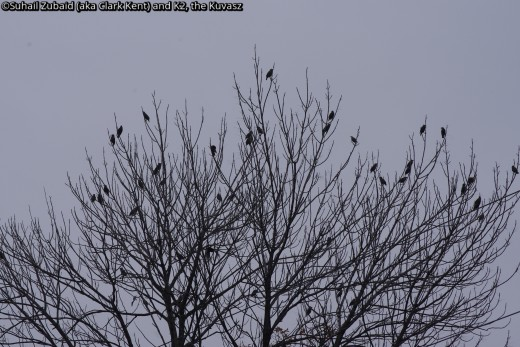 I am yet to get a close shot of these European starlings that flourish in all seasons and are looked down upon.
