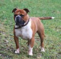 Is the Olde English Bulldogge the Right Breed For You?