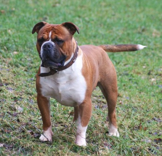 olde english bulldogge vs english bulldog olde english bulldogge vs english bulldog 4111