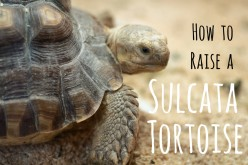 Everything You Need to Know About Raising a Sulcata Tortoise