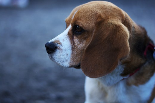 Beagle portrait.