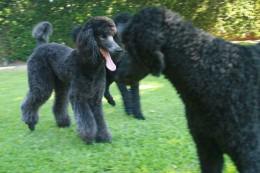 Black poodles.