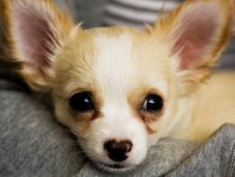Chihuahua lying down.