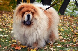 Chow chow in autumn leaves.