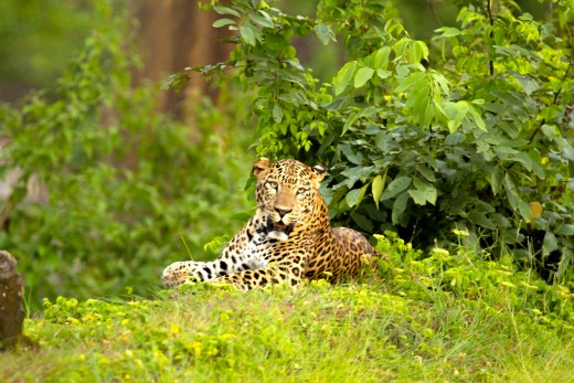 Leopard - relaxing on side of the safari track.