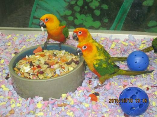 Baby conures with a case of the munchies.- By George Sommers