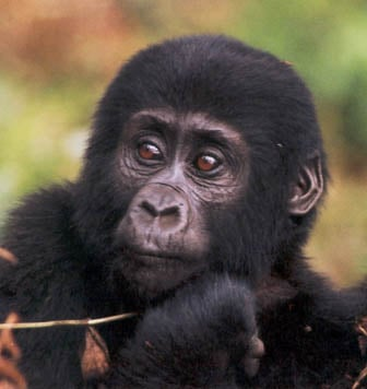 Mountain Gorilla: Endangered Species