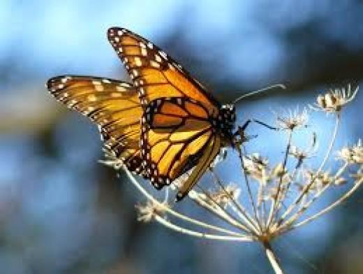 Monarch Butterfly: Endangered Species