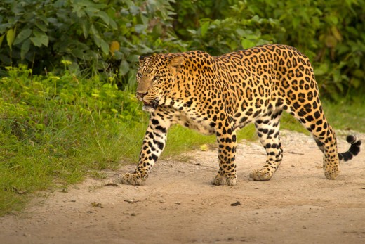 The Bold one of Kabini!