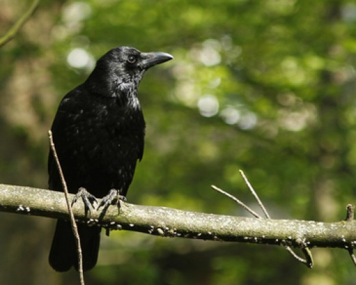 Crows are always Goth!