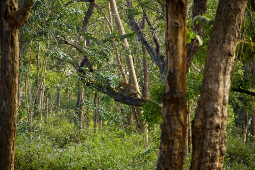 First ever Leopard sighting in Wild - Double dhamaka:  A mating leopard pair.