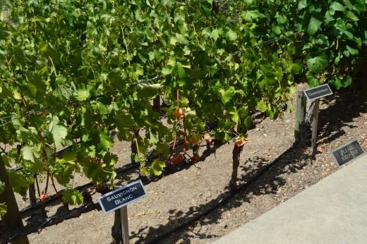Silverado Vineyard Grapes