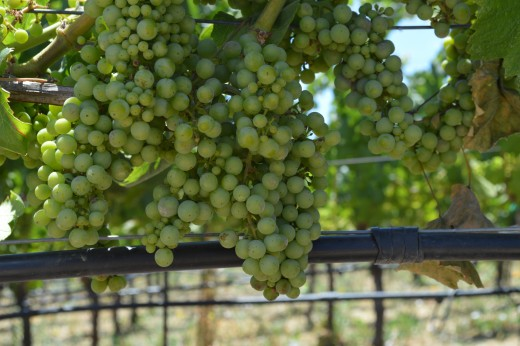 Grapes at Domaine Carneros