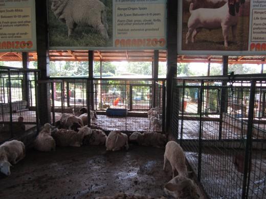 Sheep seek shelter from the hot sun