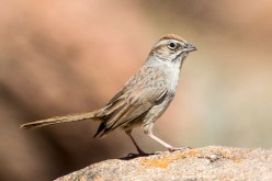 Aimophila,{ American Sparrows} and Aix {perching ducks}. A-Z of Bird genera -part 14