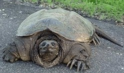 This giant snapping turtle is not only huge, but dangerous.