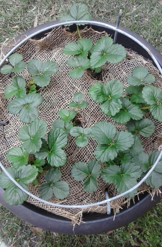 Burlap was used in this pot.  Holes were cut in the burlap to place the strawberry plants, then staples and part of a tomato cage were pushed into the burlap for extra protection.