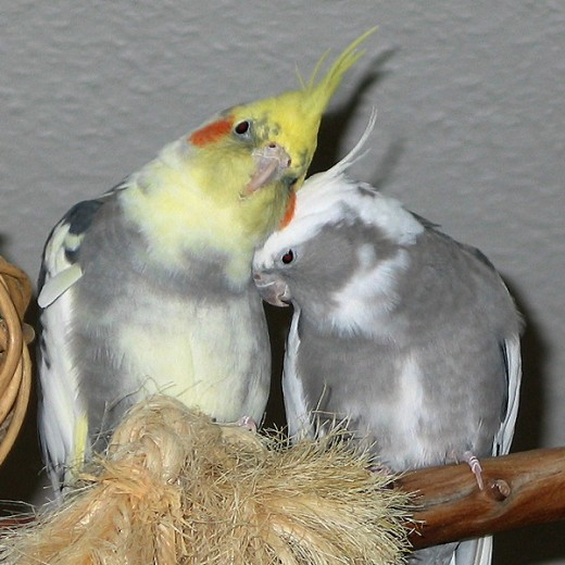 2 of  my cockateils Sunny (left) and Cloe (right).