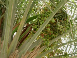 All You Need To Know About Fresh Dates