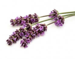 How to Grow and Use Lavender (Lavandula Angustifolia)