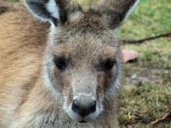 Eastern Gray Kangaroo