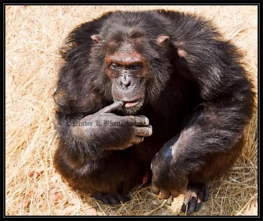 Chimps:  Show many human behaviours.