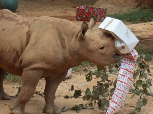 Boxes with treats hidden inside make good enrichment for just about any animal. They also apparently make good horn decorations! Don't worry, the rhino was perfectly okay (he was just having too much fun!)