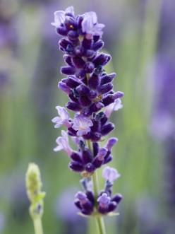 Herbs 101: Lavender