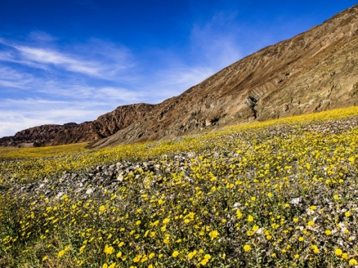 Wildflowers blooming in Death Valley National Park.